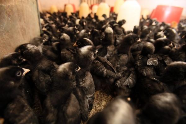 Kochanauskų paukščių ūkis