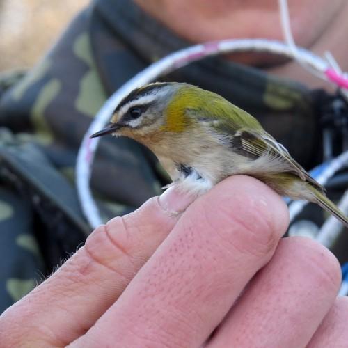 Ventės rago ornitologinė stotis