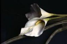 Laidotuvių gėlės, vainikai, puokštės