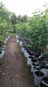 Vaismedžiai  vazonuose (konteineriuose) - tai augalai skubantiems
