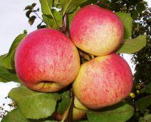 Obels AUKSIS sodinukai