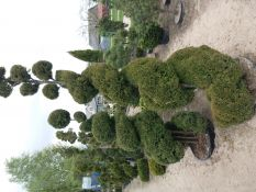 Dekoratyviniai formuoti augalai