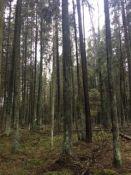 Ruošiame miškotvarkos projektus ir rėžiame biržes