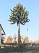 Medžių genėjimas šalia pastatų ar elektros linijų