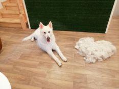 Šunų kirpimas