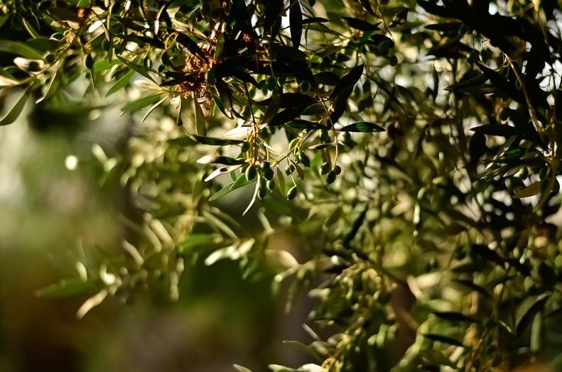 Alyvuogių aliejus: ir maistas, ir vaistas