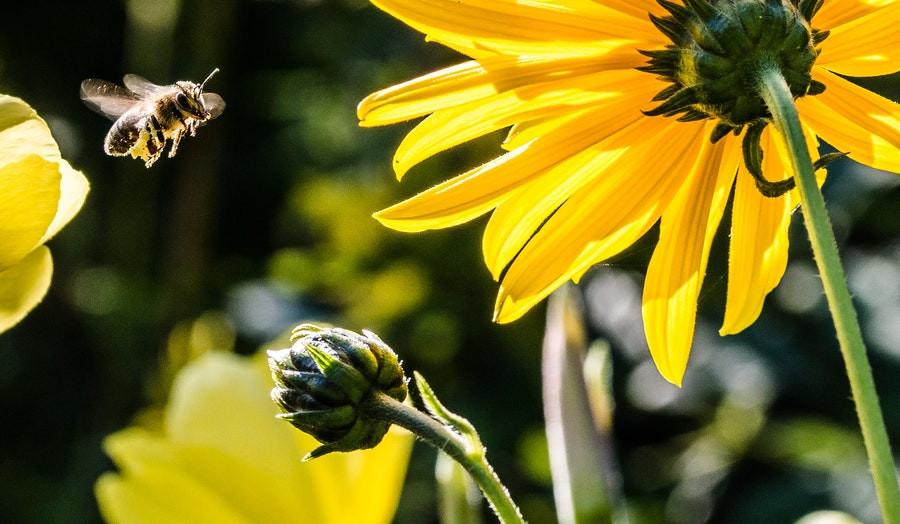 Žaliasis medus su spirulina - stipresnei imuninei sistemai